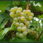 Rieslingtraube by chris-sy, on Flickr