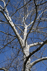 Birch Tree by Remote Sky, on Flickr