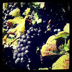 Merlot grapes by dstrelau, on Flickr