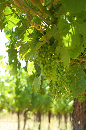 Chardonnay by John-Morgan, on Flickr