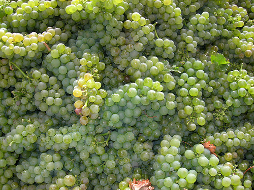 sauvignon blanc by Rivard, on Flickr